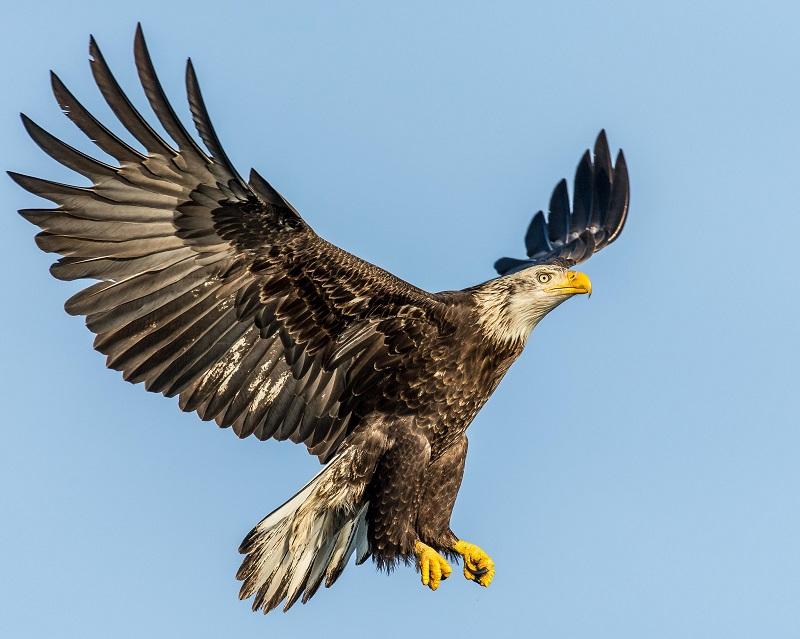 White-Tailed Eagle at Scottish CoastThe white-tailed eagle is the largest UK bird of prey.