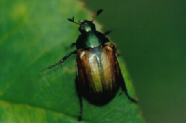 Dune Chafer beetle