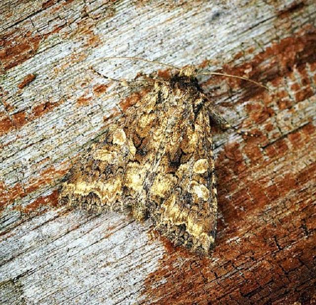 Barrett's Marbled Coronet Conisania andalusica - UK coast Moths