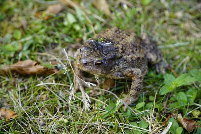 Bufo-bufo-toad