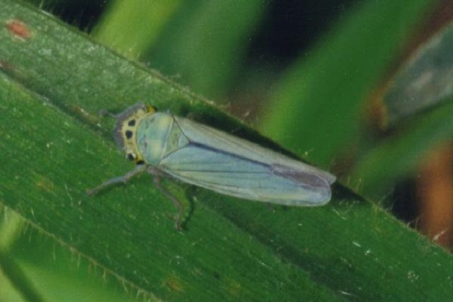 Cicadella viridis Green Leaf Hopper