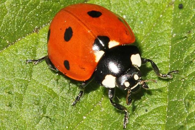 Seven-spot Ladybird Coccinella septempunctata