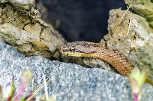 Coronella austriaca Smooth Snake