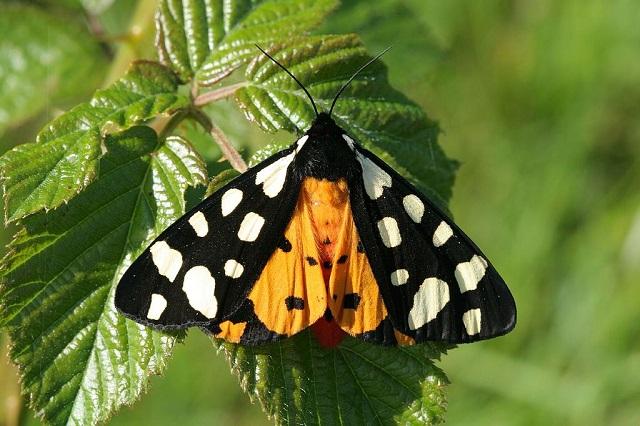 Epicallia villica Cream-spot Tiger moth