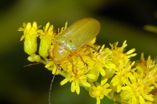 Sulphur Beetle Cteniopus sulphureus
