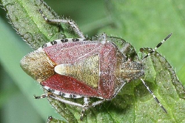 Dolycoris baccarum Hairy Shieldbug