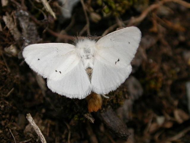 Brown-tail moth latin name: Euproctis chrysorrhoea