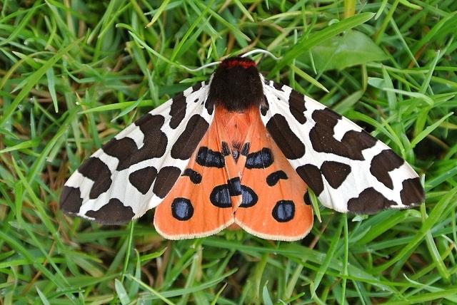 Garden-Tiger-Moth Arctia caja