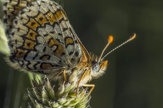 Glanville Fritillary Melitaea cinxi