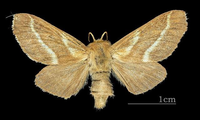 Ground lackey moth