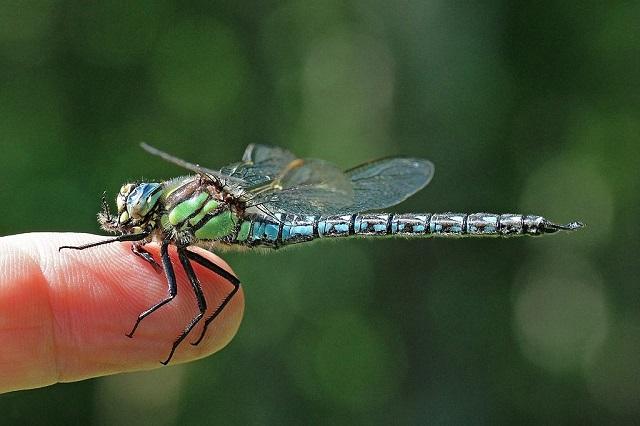 Hairy_dragonfly-Brachytron-pratense
