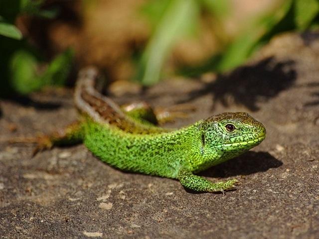 Lacerta agilis Sand Lizard