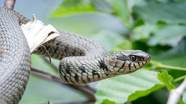 Natrix helvetica Barred Grass Snake