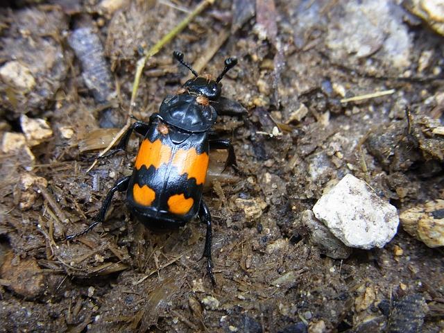 Common Sexton Beetle Nicrophorus vespilloides