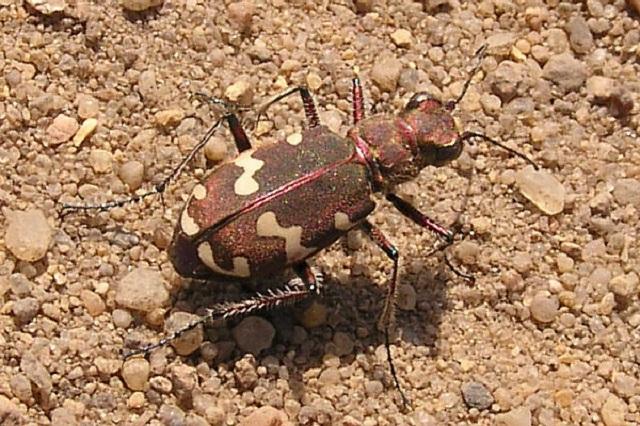 Cicindela hybrida Northern Dune Tiger Beetle