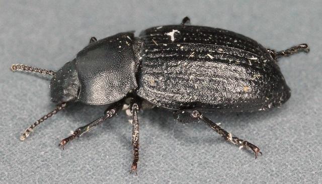 Phylan gibbus beetle