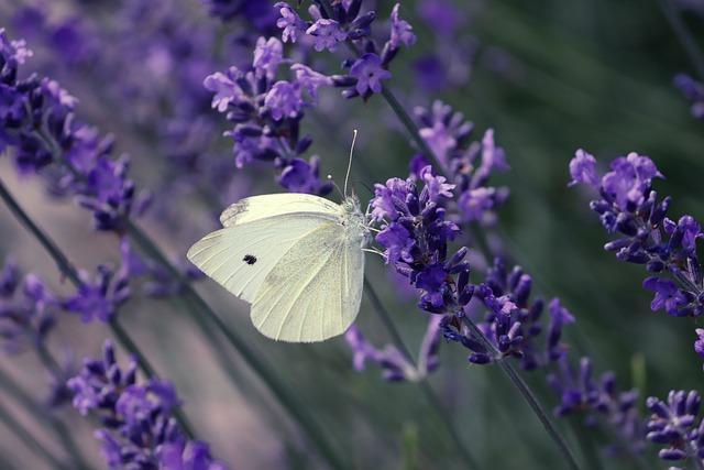 Pieris brassicae large white butterfly