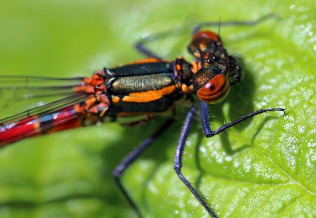 Pyrrhosoma nymphula Large Red Damselfly