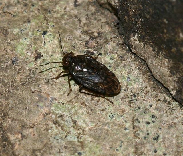 Saldula saltatoria Common Shore Bug