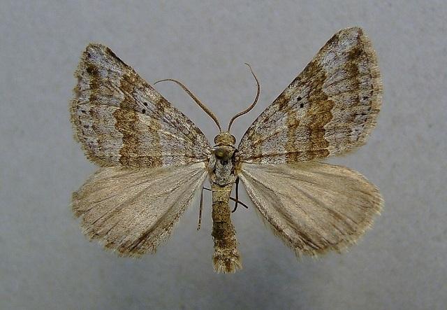 Chalk Carpet moth