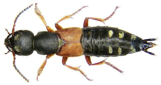 Staphylinus erythropterus