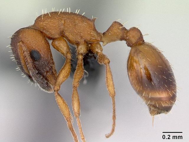 Temnothorax albipennis