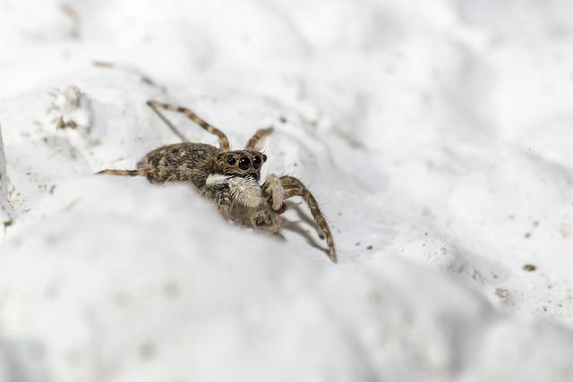 Zebra Spider Salticus scenicus
