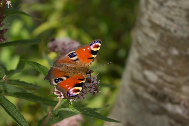 Aglais io - peacock butterfly