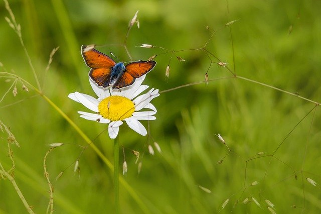 Small Copper lycaena-phlaeas-butterfly