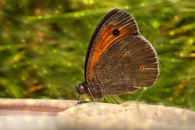 meadow brown Maniola jurtina butterfly