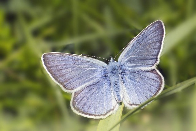 Small Blue or Cupido minimus butterfly