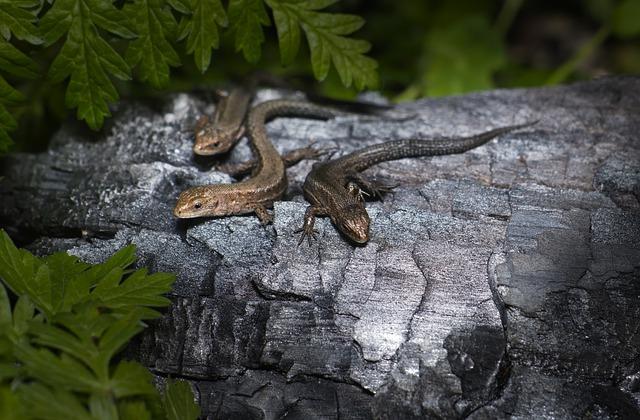 viviparous-lizard