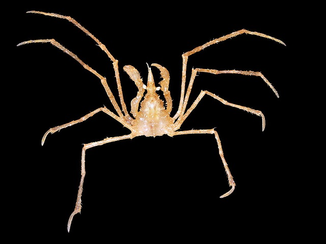 spider crab Macropodia Rostrata