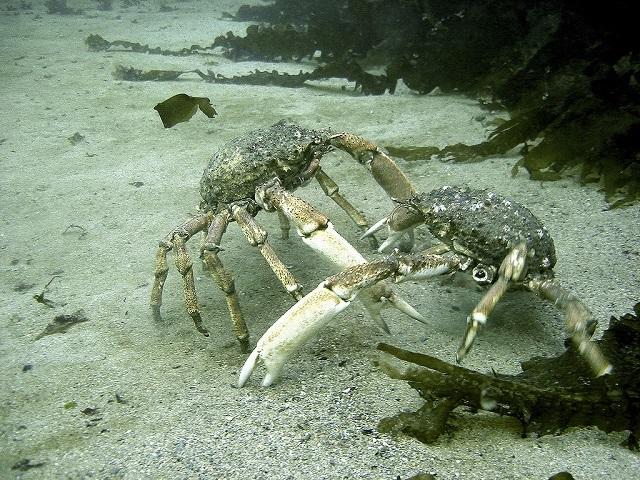 Spider-Crab Hyas araneus