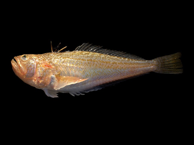Lesser Weever Fish