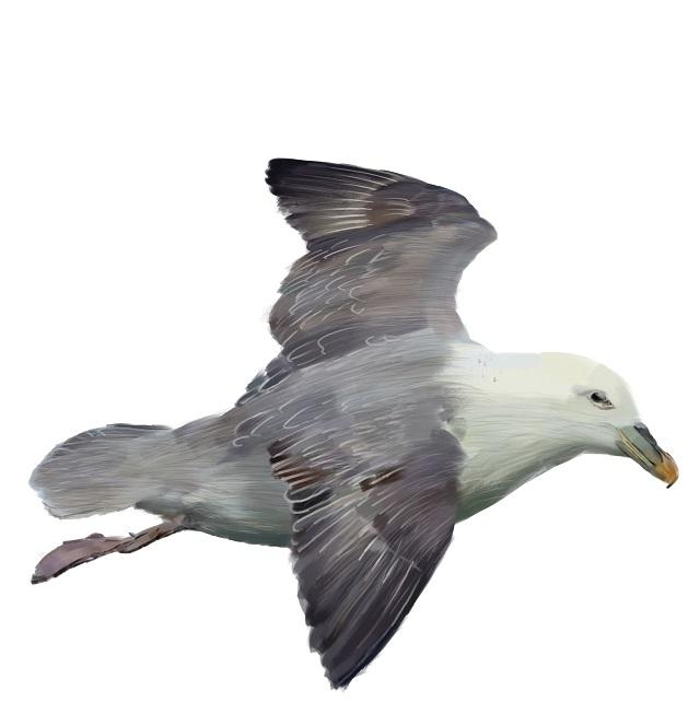 Fulmarus-glacialis