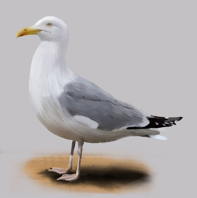 Larus-argentatus European herring gull