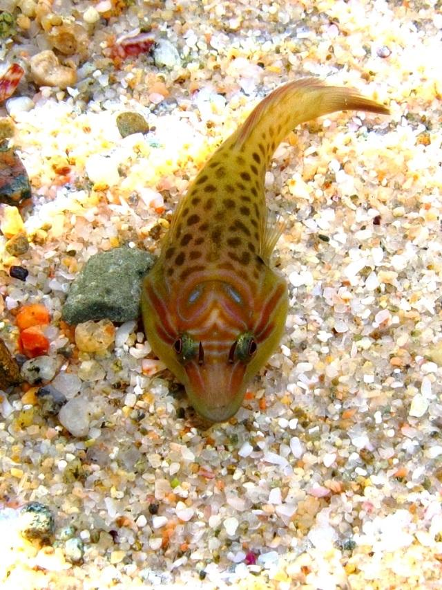 Shore Clingfish
