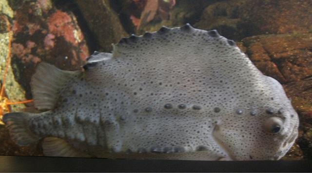 Cyclopterus lumpus Lumpsucker