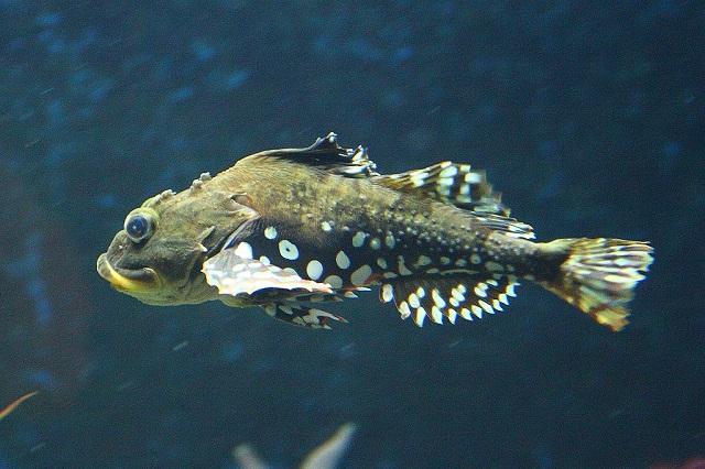 Short-spined sea scorpions - Myoxocephalus scorpius