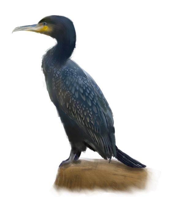 Phalacrocorax-carbo Great cormorant