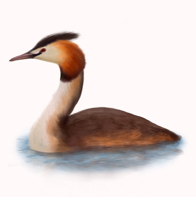 Great crested grebes Podiceps-cristatus