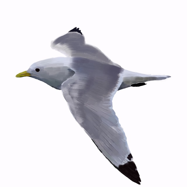 Rissa-tridactyla Kittiwake