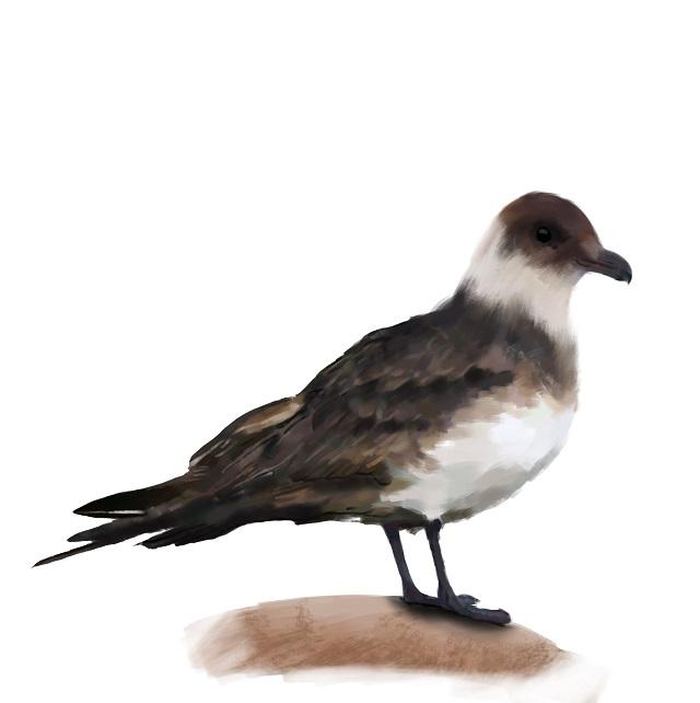 Stercorarius-parasiticus Arctic skua