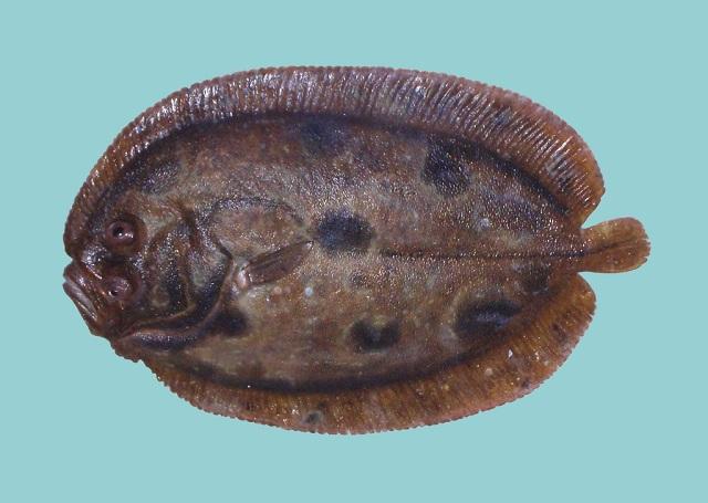 Zeugopterus punctatus