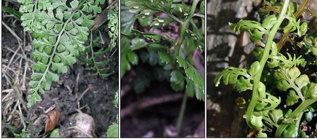Asplenium obovatum Lanceolate Spleenwort
