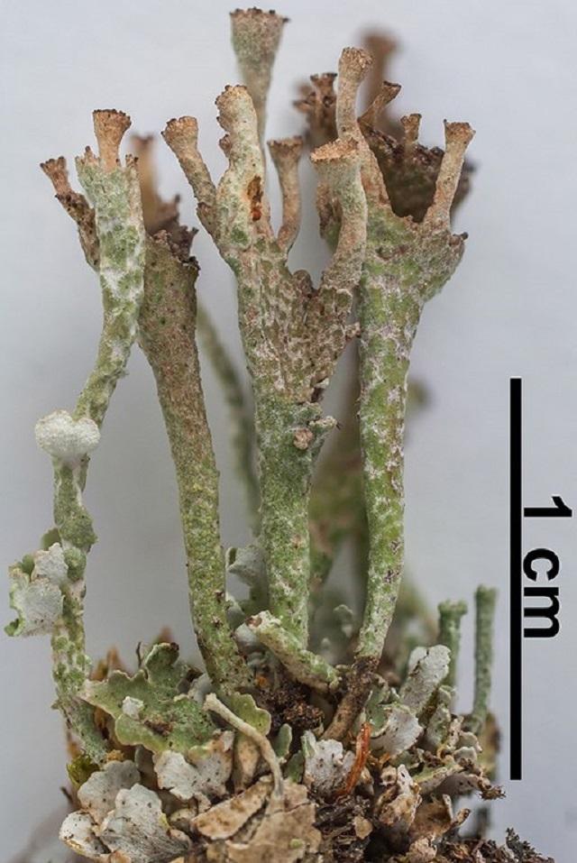 Ladder Lichen