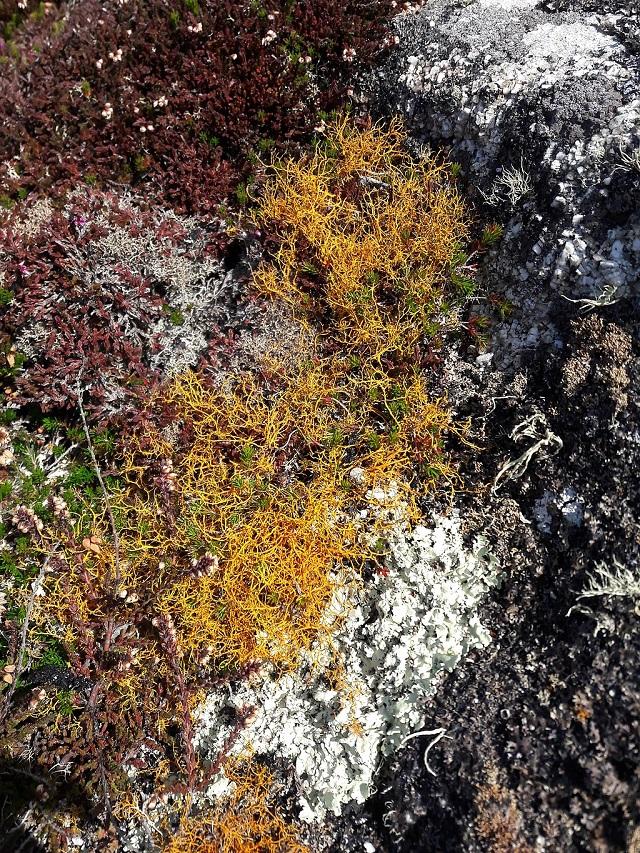 Golden_-Hair-lichen-Isles-of-Scilly