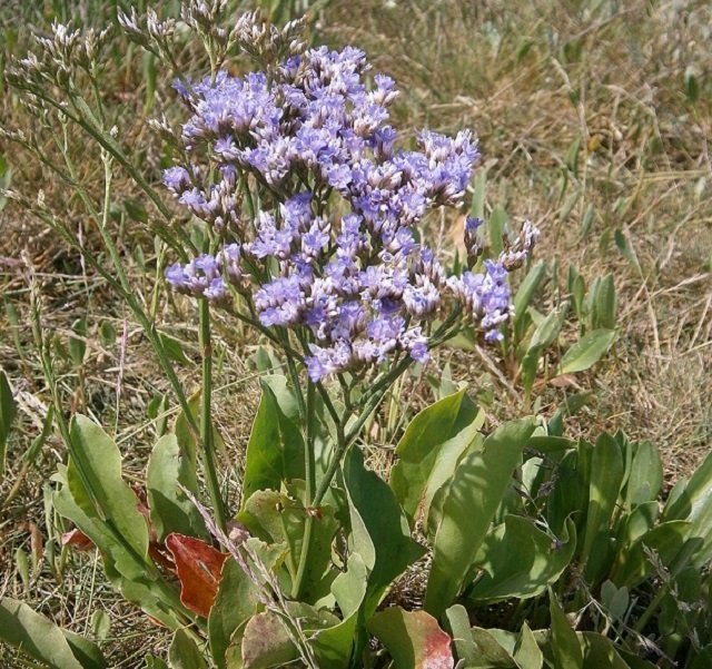Sea lavenders