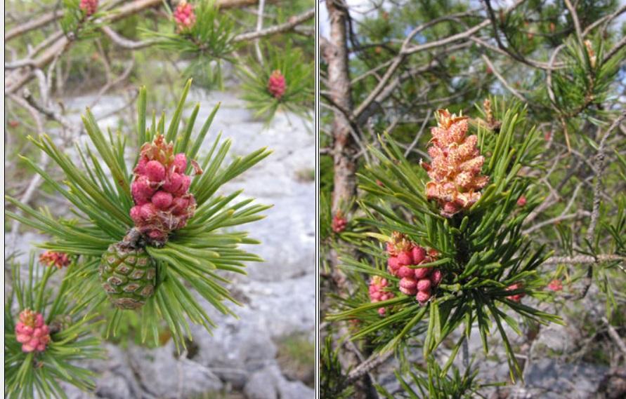 Scot's Pine